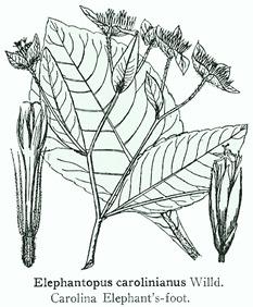 Elephantopus carolinianus
