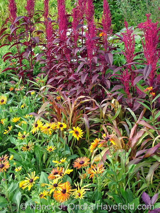 Hopi Red Dye' amaranth (Amaranthus), 'Jester' millet (Pennisetum glaucum), and 'Chim Chiminee' gloriosa daisy (Rudbeckia hirta)