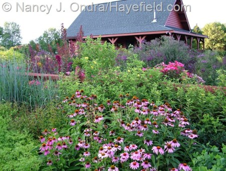 Summer border with Echinacea purpurea, Helianthus 'Lemon Queen' (just coming into bloom), Sorghastrum nutans 'Indian Steel', Knock Out rose, and Vernonia gigantea at Hayefield [Nancy J. Ondra]