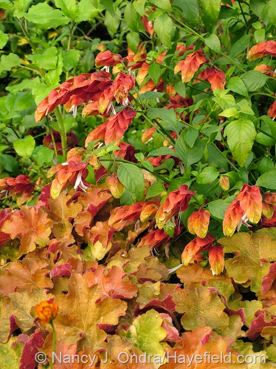 Shrimp plant (Justicia brandegeana) and 'Caramel' heuchera at Hayefield.com