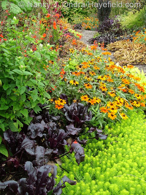 Salvia coccinea 'Lady in Red' with 'Profusion Orange' zinnia, 'Bull's Blood' beet, and 'Angelina' sedum (Sedum rupestre) at Hayefield.com