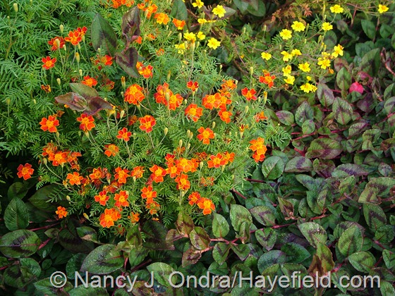 Persicaria capitata with Tagetes tenuifolia 'Starfire Mix' at Hayefield.com