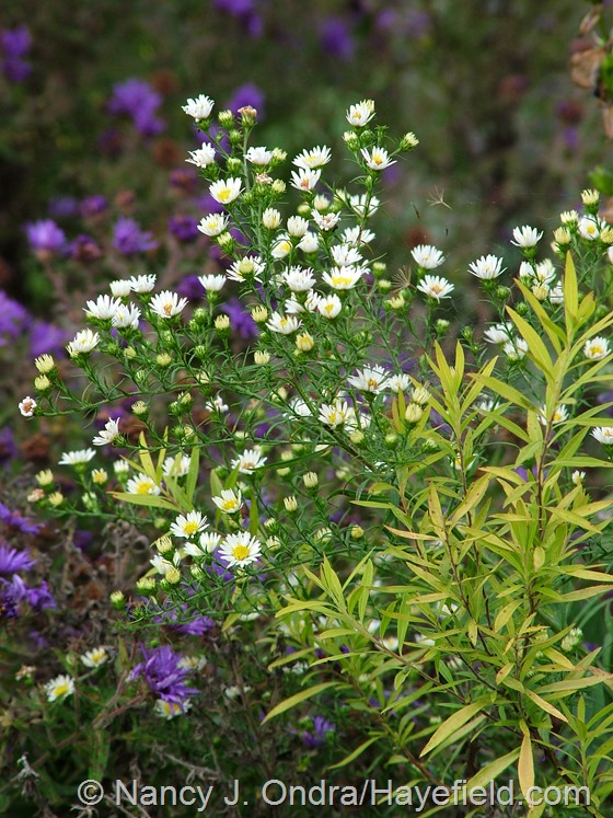 Symphyotrichum with Spiraea thunbergii 'Ogon' [Mellow Yellow] at Hayefield.com