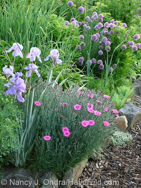 Dianthus 'Pixie Star' with Iris pallida 'Argentea Variegata' and Allium schoenoprasum at Hayefield.com