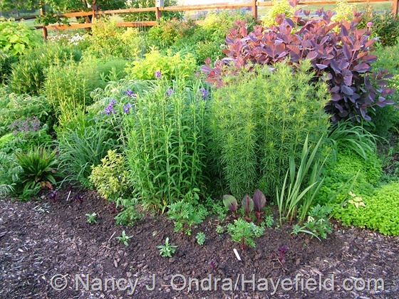 Annuals in mixed border at Hayefield.com