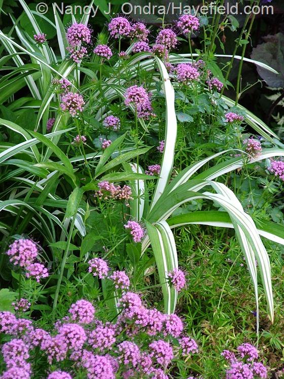 Phuopsis stylosa with Hemeocallis fulva 'Kwanso Variegated' at Hayefield.com