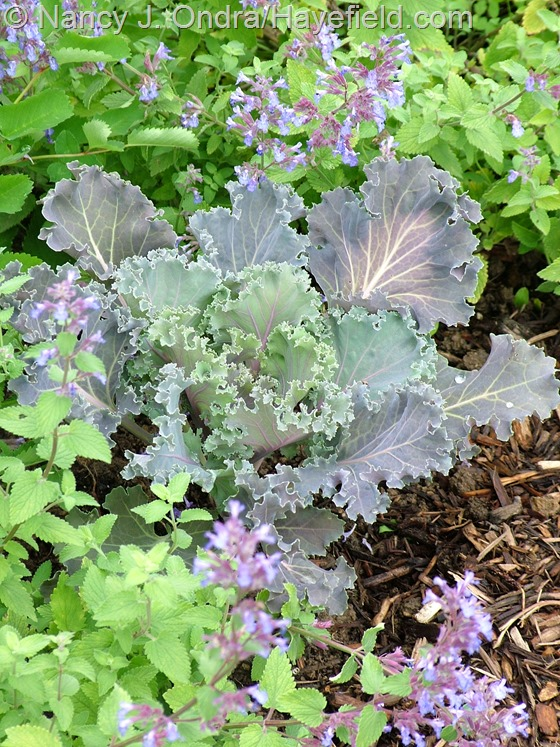 Ornamental cabbage with Nepeta 'Blue Wonder' at Hayefield.com