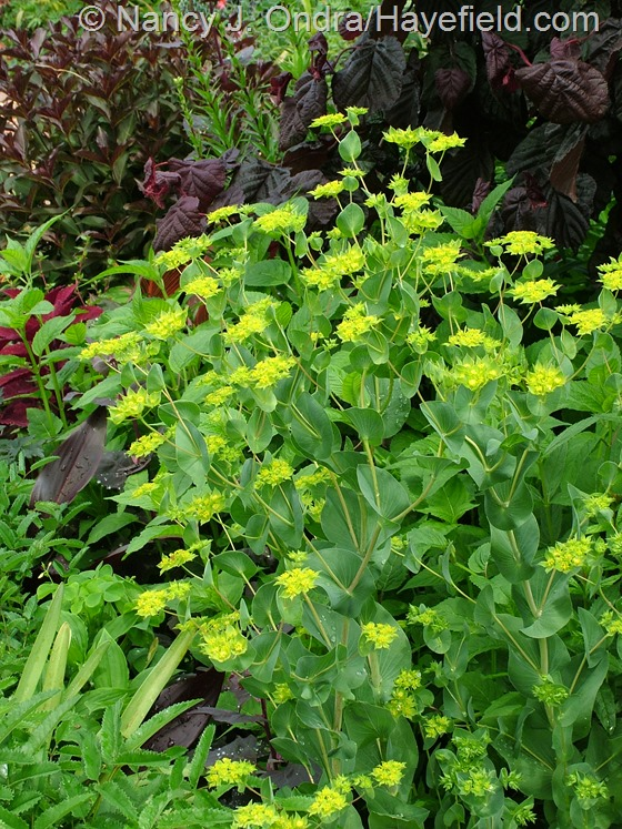 Bupleurum rotundifolium at Hayefield.com
