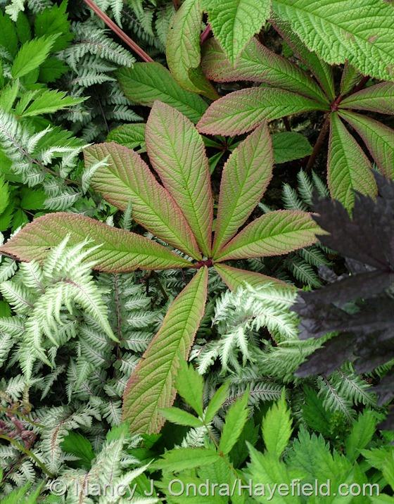 Athyrium niponicum var. pictum with Rodgersia pinnata at Hayefield.com