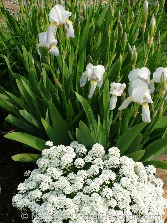 Iris 'Florentina' with Iberis sempervirens at Hayefield.com