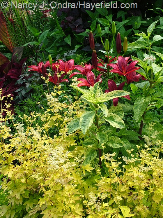 Filipendula ulmaria 'Aurea' with Phytolacca americana 'Silberstein' and Lilium 'Monte Negro' at Hayefield.com