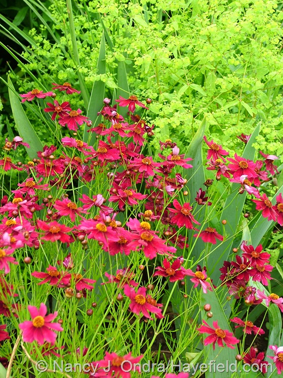 Coreopsis 'Limerock Ruby' with  bearded iris foliage and Euphorbia 'Golden Foam' at Hayefield.com