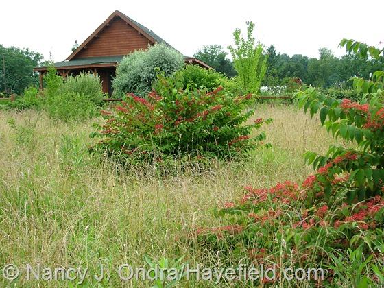 Viburnum plicatum at Hayefield.com