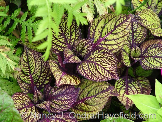 Solenostemon (Coleus) 'Fishnet Stockings' at Hayefield.com