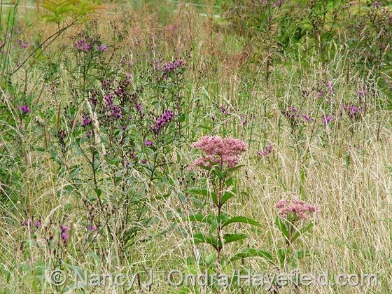 Vernonia noveboracensis with Eutrochium [Eupatorium] purpureum at Hayefield.com