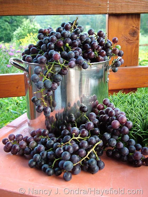 Vitis labrusca 'Concord' grapes at Hayefield.com