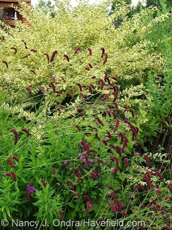 Sanguisorba tenuifolia against Ligustrum sinense 'Swift Creek' at Hayefield.com