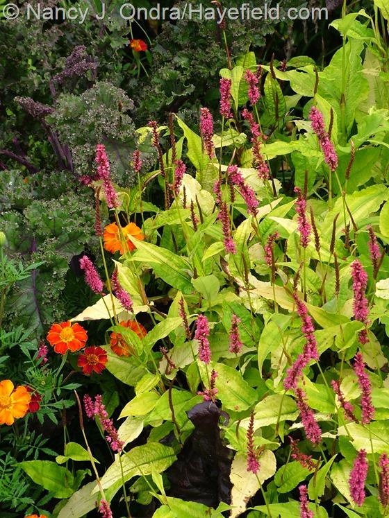 Persicaria amplexicaulis 'Golden Arrow' at Hayefield.com