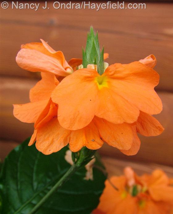 Crossandra infundibuliformis 'Orange Marmalade' at Hayefield.com