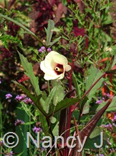 Abelmoschus esculentus 'Bowling Red' (okra) at Hayefield.com