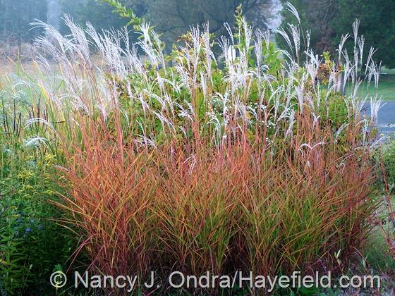Miscanthus 'Purpurascens' at Hayefield.com