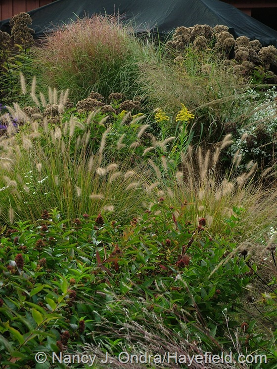 Pennisetum alopecuroides 'Cassian' with Diervilla sessilifolia, Eutrochium dubium 'Little Joe', Miscanthus sinensis 'Morning Light', Panicum amarum 'Dewey Blue', Solidago, and Eutrochium purpureum at Hayefield.com