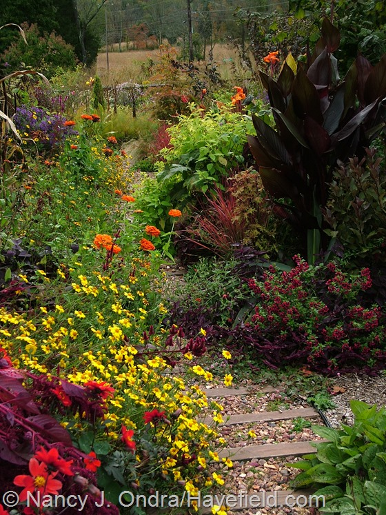 Tagetes patula 'Hayefield Strain', Zinnia 'Orange King', Salvia elegans 'Golden Delicious', Imperata cylindrica 'Rubra', Canna 'Australia', and Cuphea 'Flamenco Samba' along front path at Hayefield.com