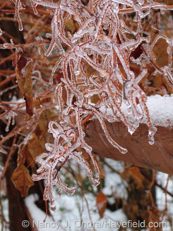Persicaria 'Crimson Beauty' on ice at Hayefield.com