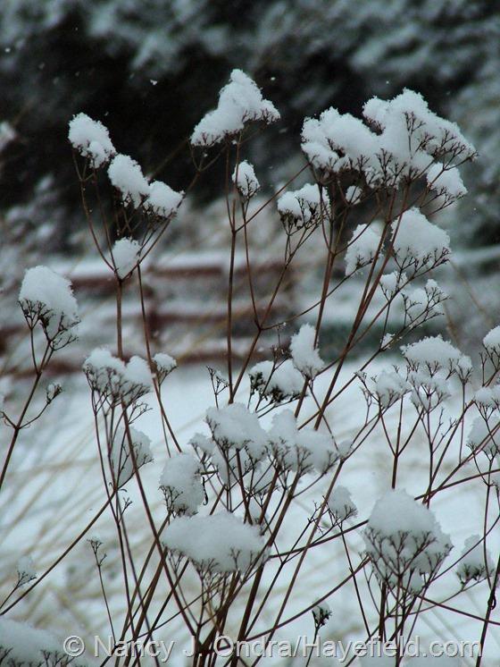Patrinia scabiosifolia in the snow at Hayefield.com