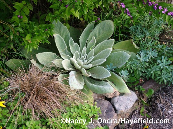 Common mullein (Verbascum thapsus) with 'Toffee Twist' sedge (Carex flagellifera) at Hayefield.com