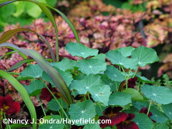 Tropaeolum majus 'Black Velvet' at Hayefield.com