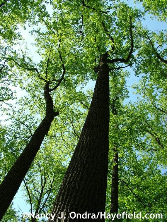 Tall trees at Hayefield.com