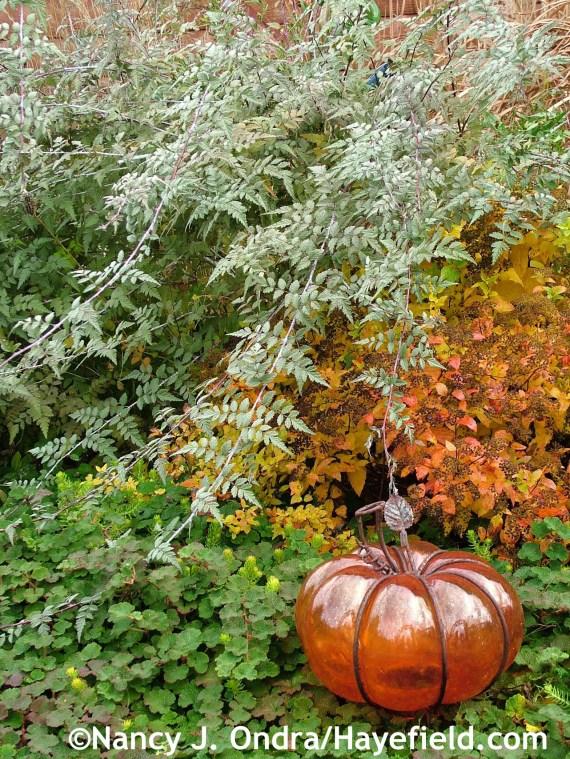 Ghost bramble (Rubus thibetanus), Dakota Goldcharm spirea (Spiraea japonica 'Mertyann'), and creeping bramble (Rubus pentalobus) at Hayefield.com