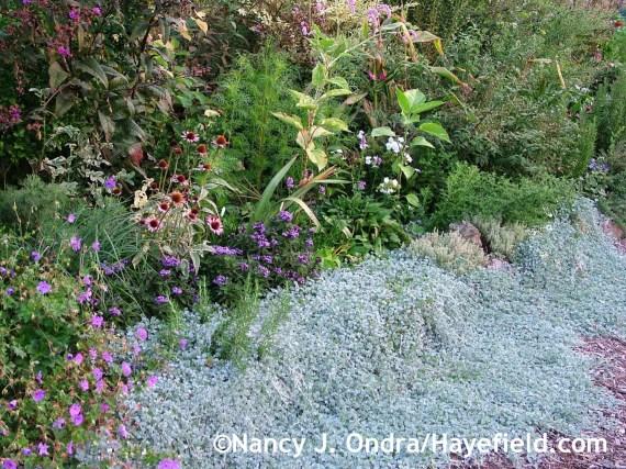 Dichondra argentea 'Silver Falls' at Hayefield.com