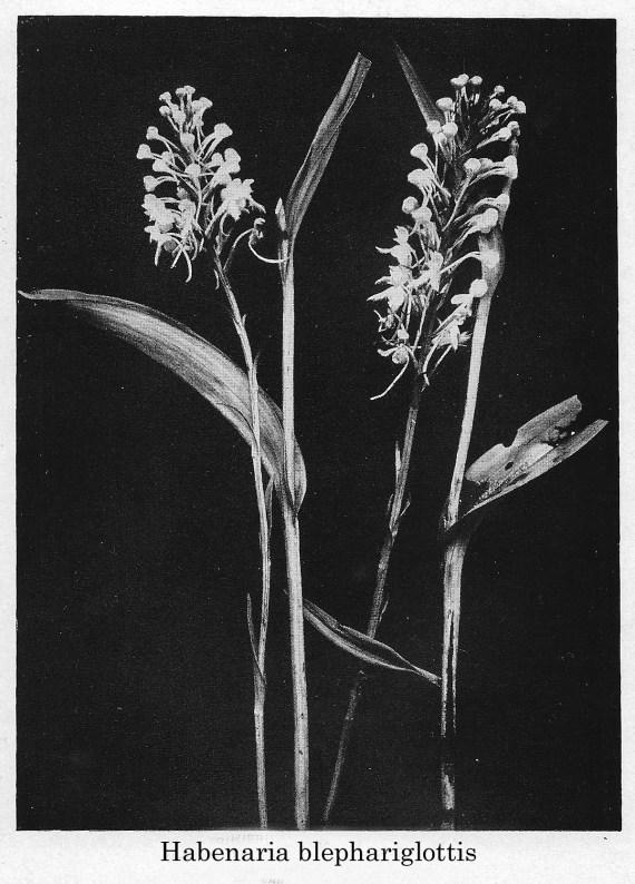 Habenaria blephariglottis