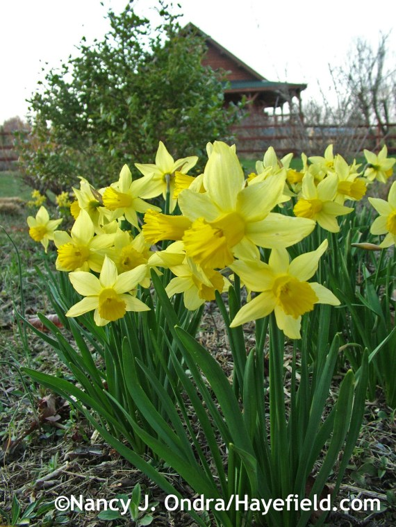 Narcissus 'February Gold' at Hayefield.com