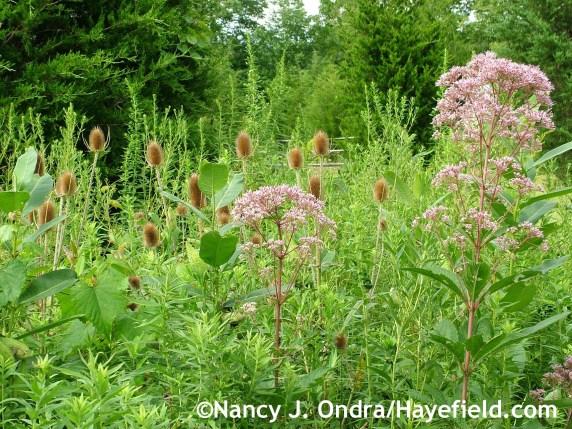Eutrochium maculatum with Dipsacus fullonum in horizontal format at Hayefield.com
