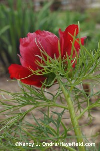 Paeonia tenuifolia at Hayefield.com