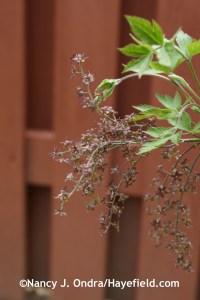 Xanthorhiza simplicissima at Hayefield.com