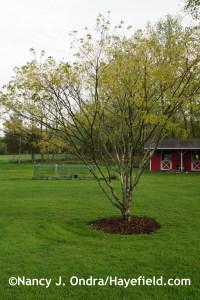 Acer cissifolium at Hayefield.com