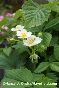'White Pine' pineberry (strawberry) at Hayefield.com