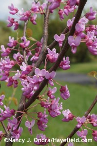 Cercis canadensis at Hayefield.com