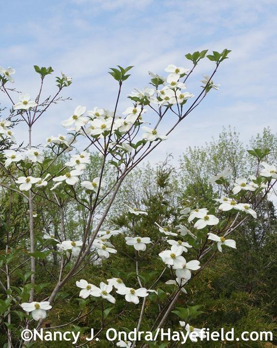 Cornus florida at Hayefield.com