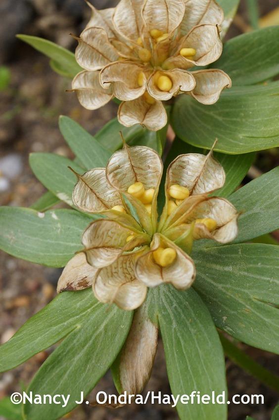 Winter aconite (Eranthis hyemalis) seedheads at Hayefield.com