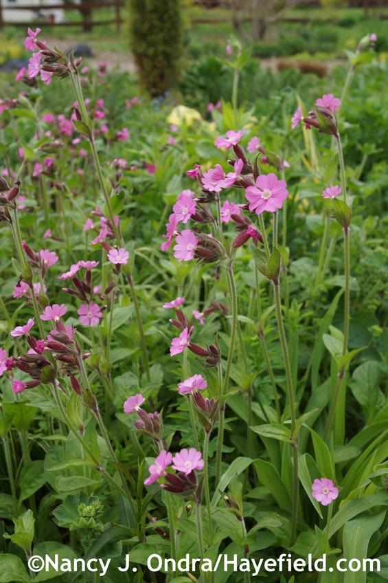 Red campion (Silene dioica) at Hayefield.com