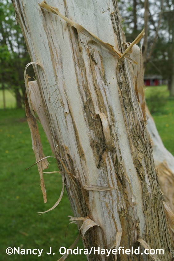 Seven-sons tree (Heptacodium miconioides) trunk at Hayefield.com