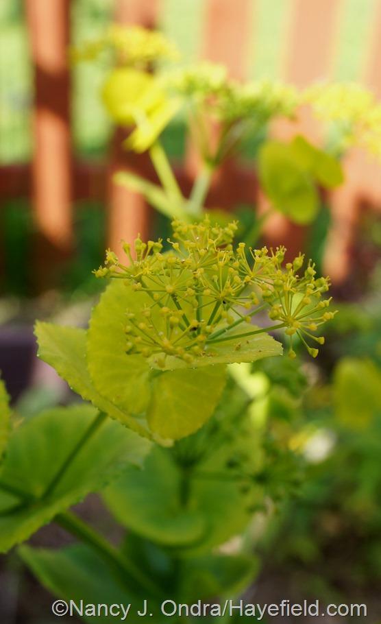 Smyrnium perfoliatum at Hayefield.com
