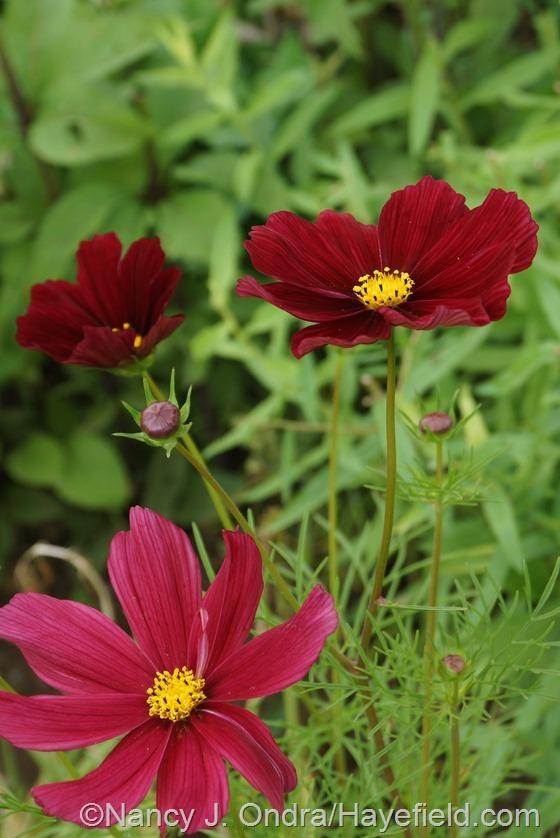Cosmos bipinnatus 'Rubenza' at Hayefield.com