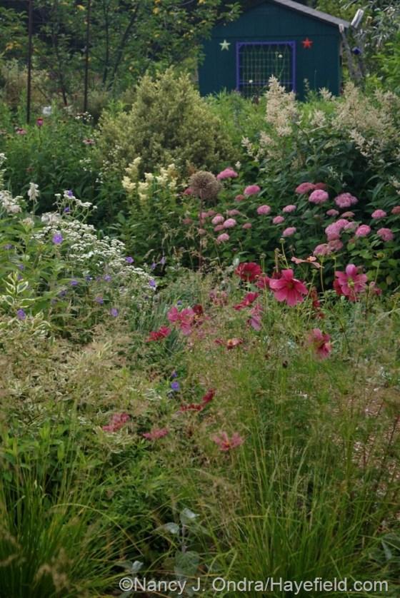 Side Garden with tufted hair grass (Deschampsia cespitosa), 'Rubenza' cosmos (Cosmos bipinnatus) , Invincibelle Spirit hydrangea (Hydrangea arborescens), wild quinine (Parthenium integrifolium), meadowsweet (Filipendula ulmaria), and giant fleeceflower (Persicaria polymorpha) [July 1, 2014] at Hayefield.com
