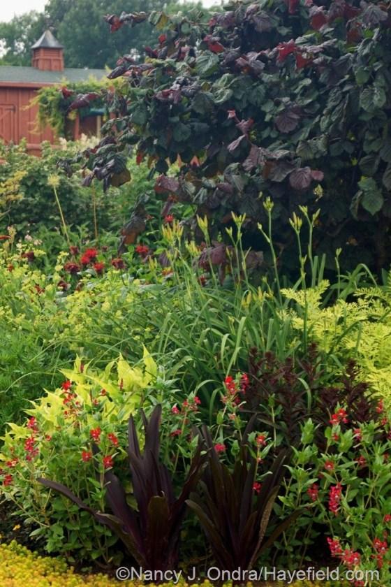 'Oakhurst' pineapple lily (Eucomis comosa), 'Firefly' cuphea, 'Golden Arrow' fleeceflower (Persicaria amplexicaulis), 'Black Truffle' cardinal flower (Lobelia cardinalis), 'Nona's Garnet' daylily (Hemerocallis), 'Jacob Cline' bee balm (Monarda), and 'Red Majestic' contorted hazel (Corylus avellana) [July 3, 2014] at Hayefield.com